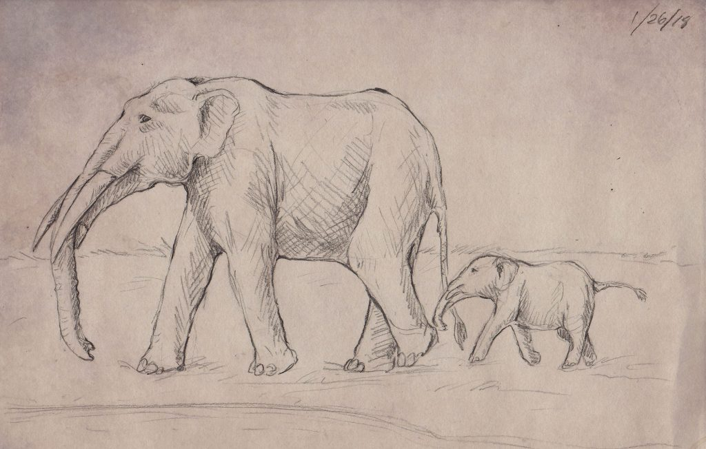 A line drawing of what I think the gomphotheres from this site would have looked like 5 million years ago.