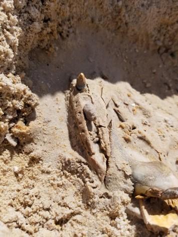 First alligator skull. Florida Museum photo by Josh Ringer.