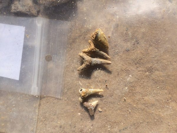 Some of the shark teeth we found. The rightmost tooth is from an alligator. Florida Museum photo by Nathan Duerr.