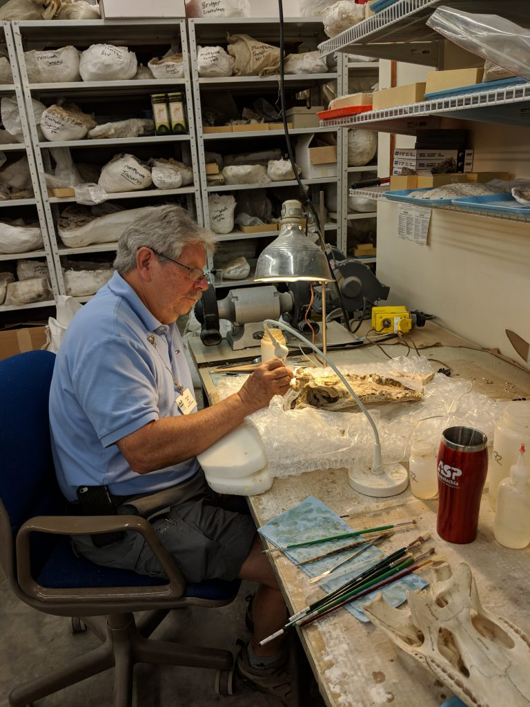 Bill Buhi preparing an alligator skull out of a plaster jacket.