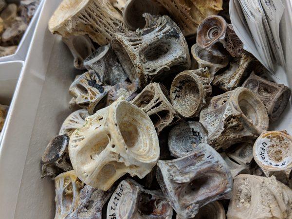 Snook (Centropomus) vertebrae