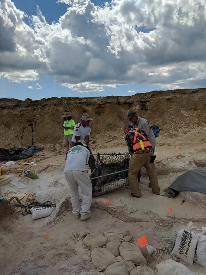 2019-03-26 2019-03-26 The adult gomphothere skull jacket moved out of the pit with people power. Florida Museum photo by Bill and Carol Sewell