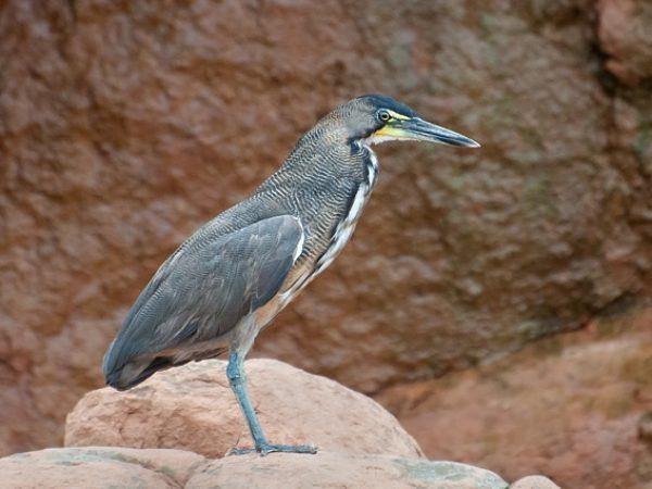Tiger-heron Tigrisoma fasciatum