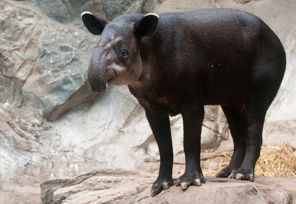 Baird's Tapir. By Eric Kilby from USA (Baird's Tapir Uploaded by Snowmanradio) [CC BY-SA 2.0 (https://creativecommons.org/licenses/by-sa/2.0)], via Wikimedia Commons