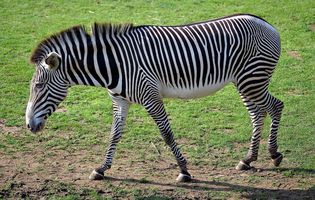 Equus greyvi