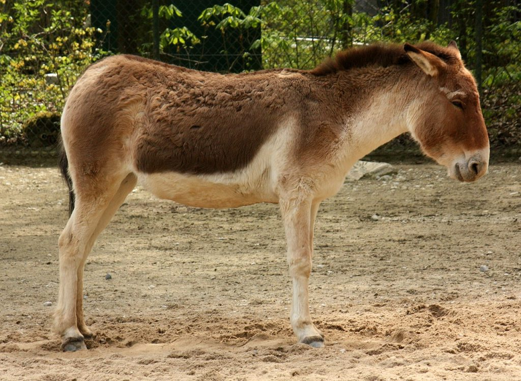 Equus kiang