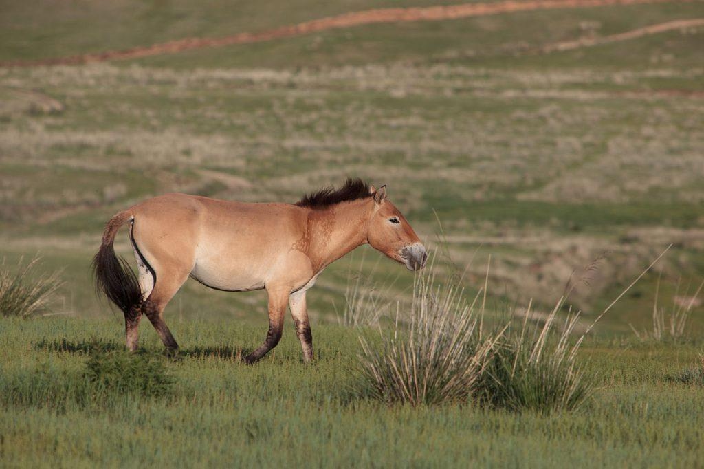 Equus przewalskii