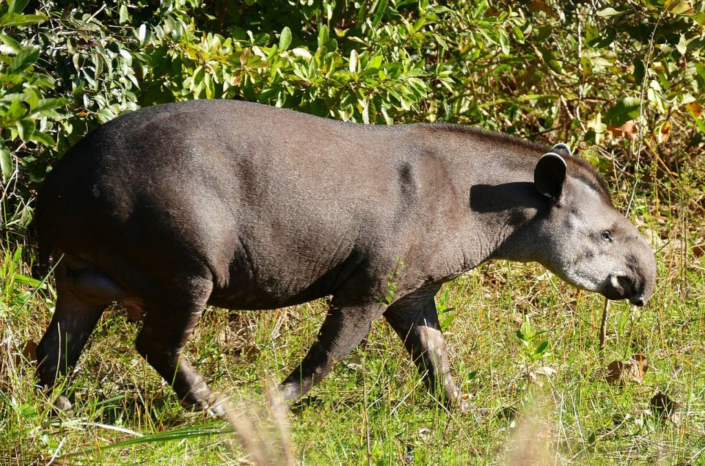 South American tapir. By Bernard DUPONT from France (Lowland Tapir (Tapirus terrestris) male) [CC BY-SA 2.0 (https://creativecommons.org/licenses/by-sa/2.0)], via Wikimedia Commons.