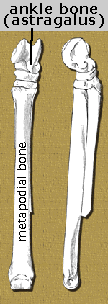 kalobatippus leg