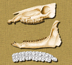 kalobatippus skull