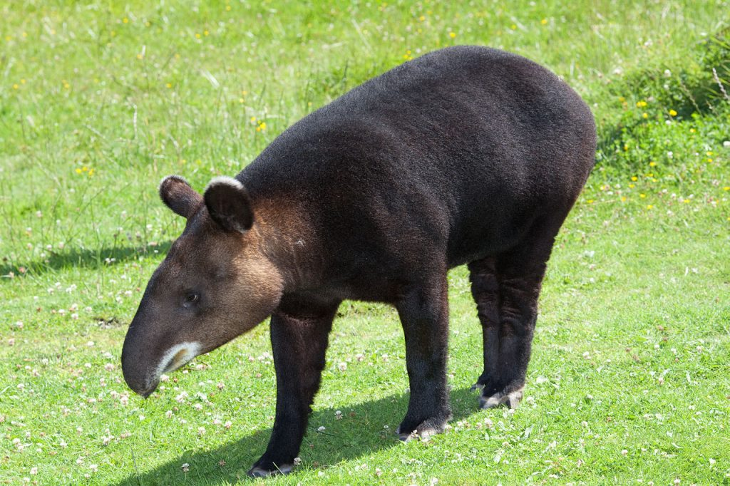 Mountain tapir. By David Sifry (Flickr) [CC BY 2.0 (http://creativecommons.org/licenses/by/2.0)], via Wikimedia Commons