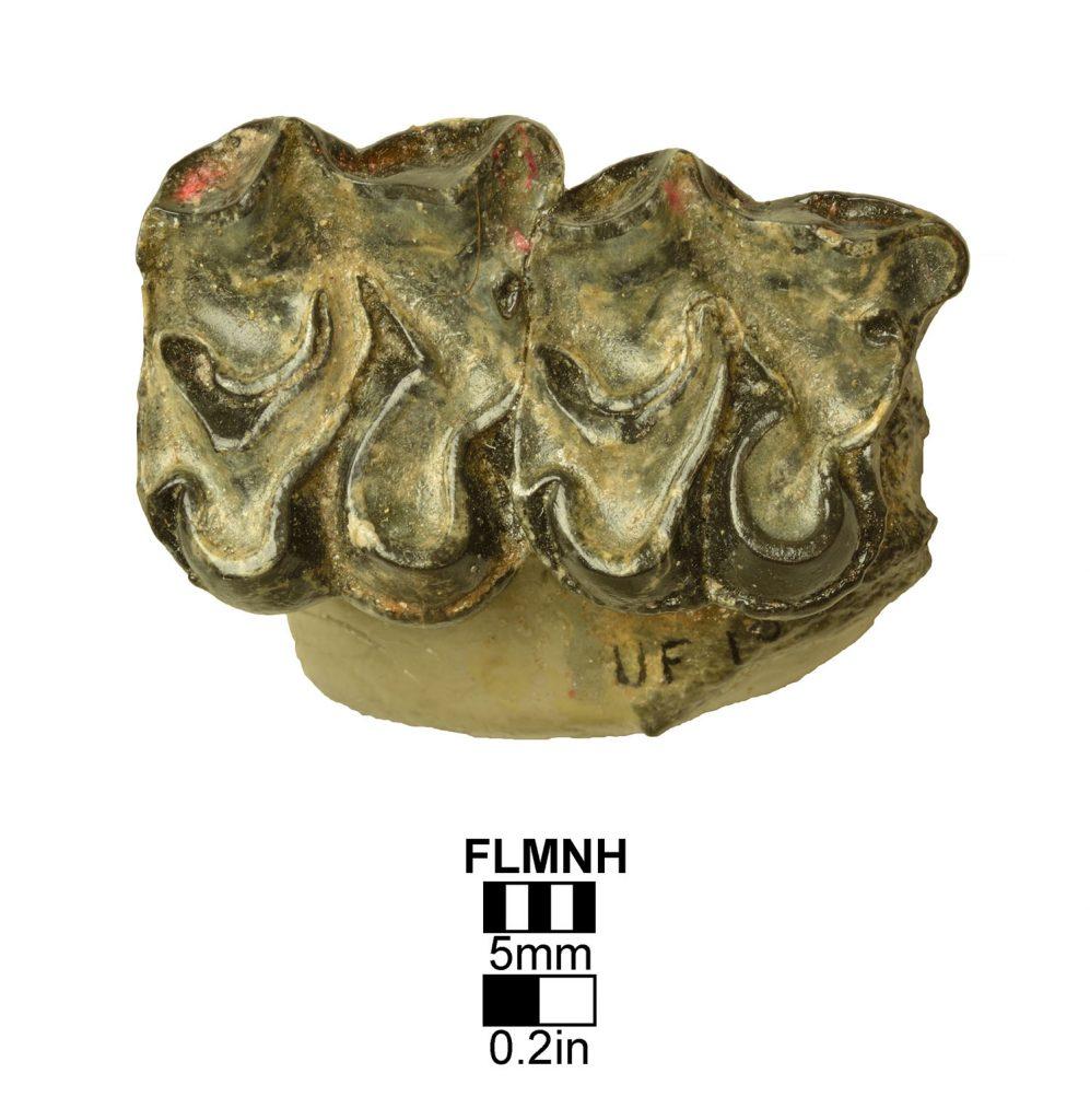 Hypohippus chico- upper right P3-P4