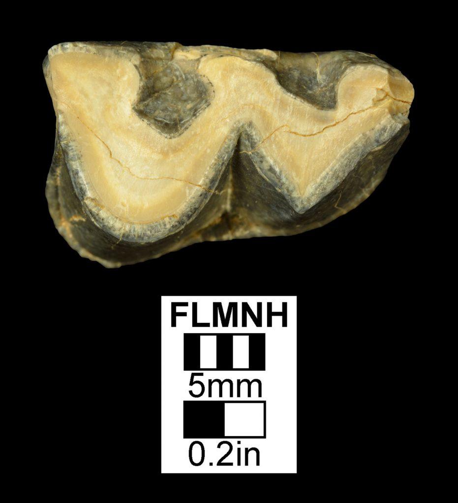 Hypohippus affinis- right lower P2