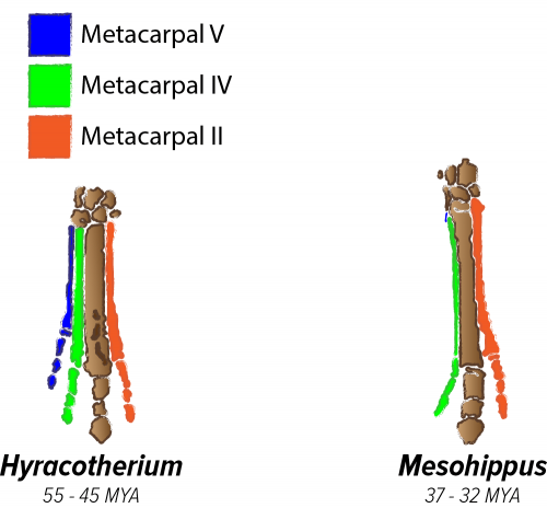 Hyrocotherum vs. Mesohippus