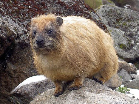 hyrax on a rock