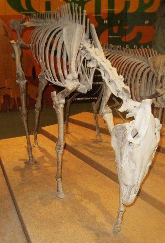 Dinohippus leidyanus skeleton