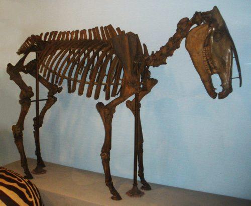 Hippidion skeleton