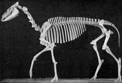 hypohippus skeleton