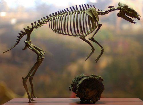 Hyracotherium Vasacciensis skeleton