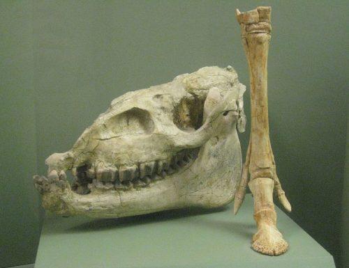 Megahippus skull and foreleg