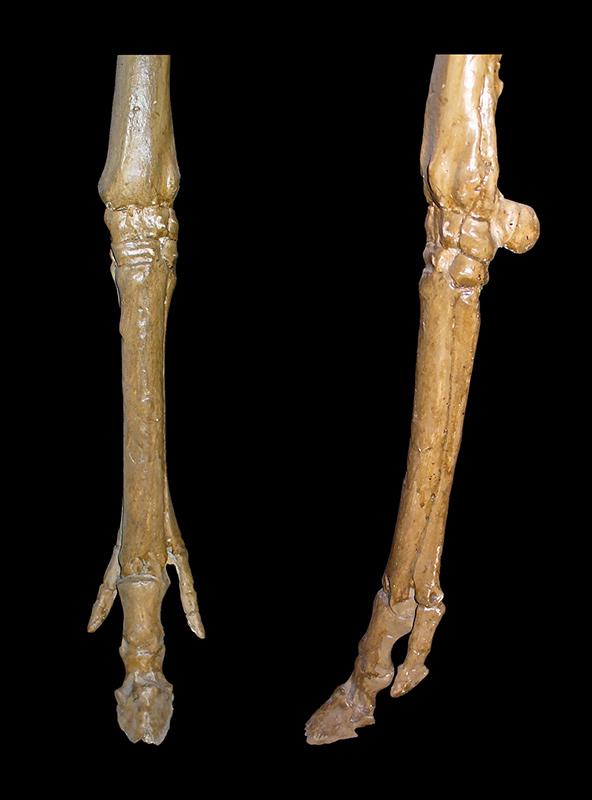 Merychippus forelegs