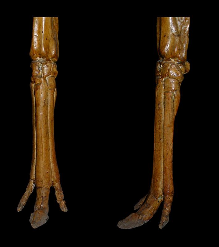 Mesohippus forelimbs
