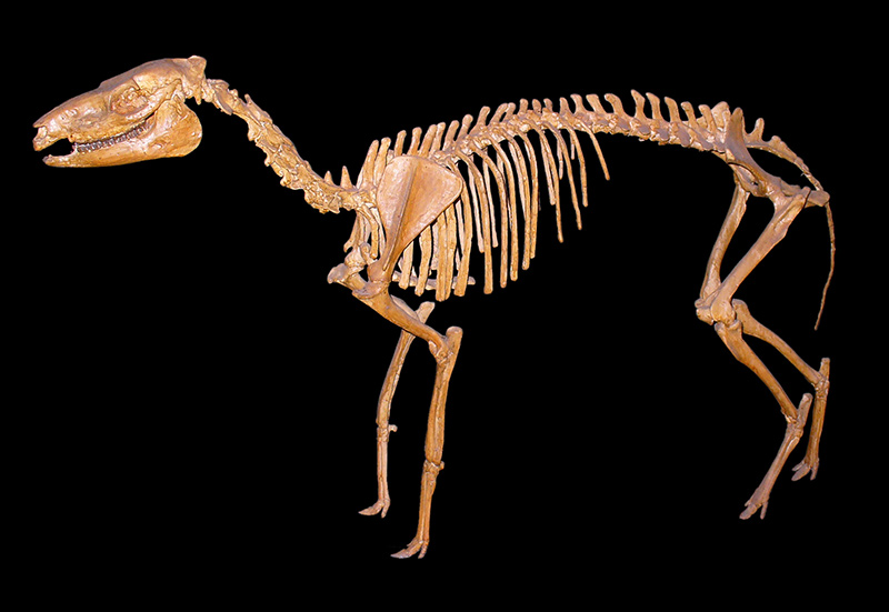 Mesohippus skeleton