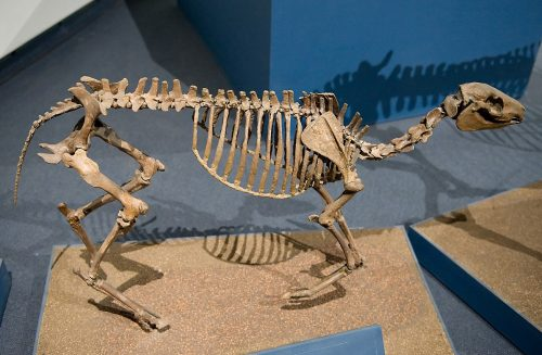 mounted Miohippus skeleton