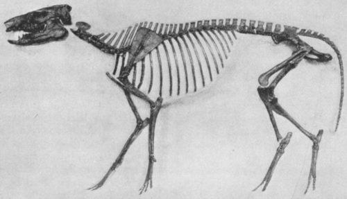 Orohippus skeleton