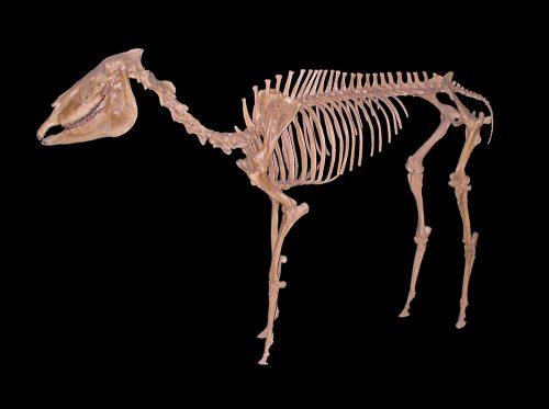 Pliohippus skeleton