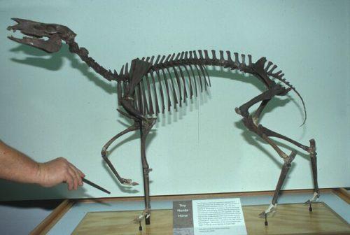 Archaeohippus skeleton