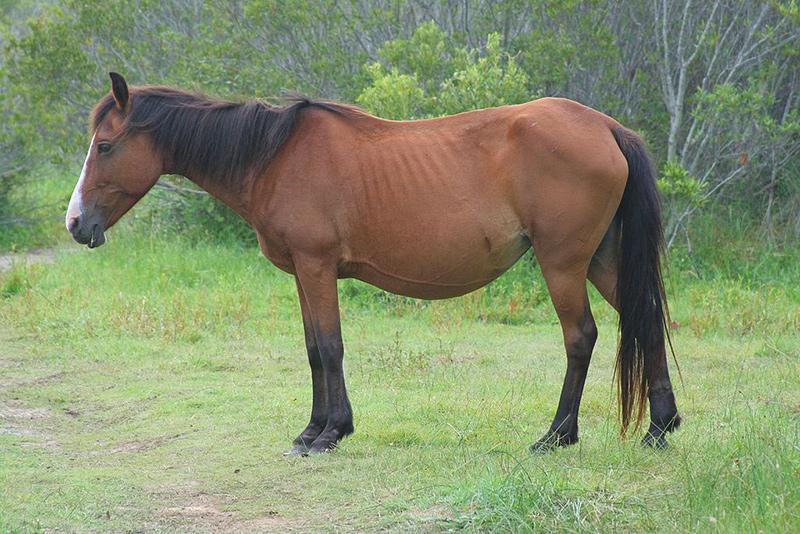 domestic wild horse
