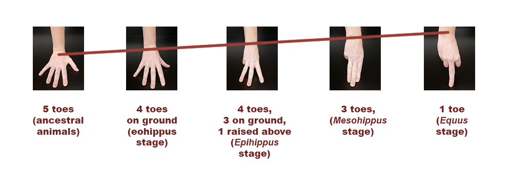 human hands showing wrist and toe comparison