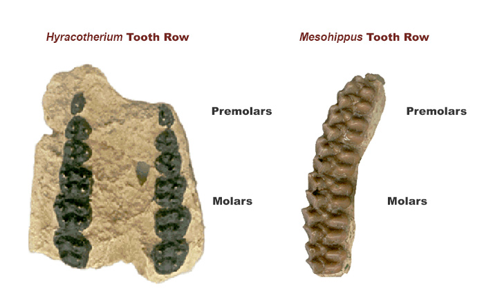 diagram comparing hyracotherium and mesohippus teeth rows