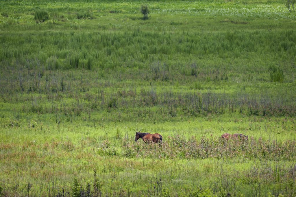 horses grazing on Paynes Prairie