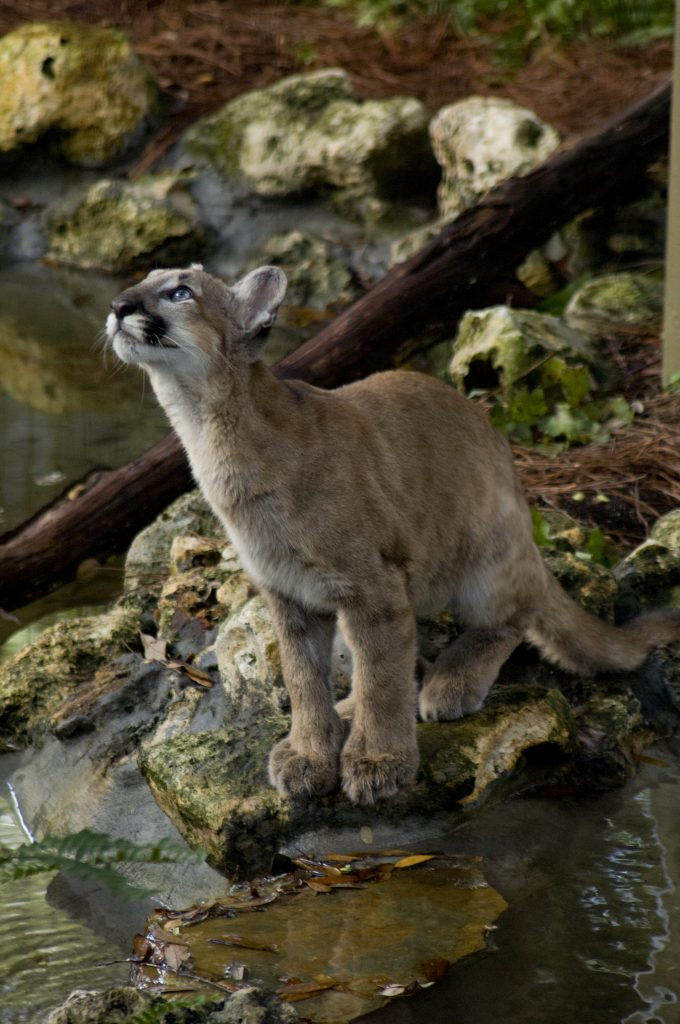 endangered Florida Panther kitten