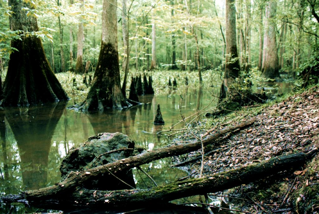cypress knees in swamp