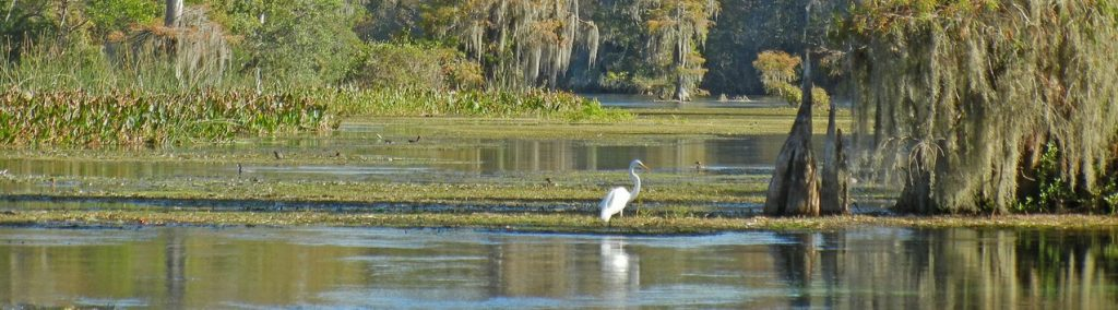 Egret at Wakulla Springs