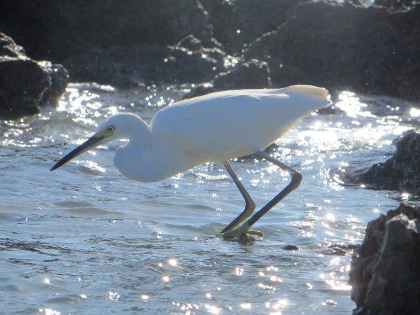 Egret at Caspersen Beach