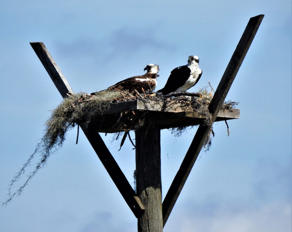 This pair of Osprey also made an appearance on the tour!