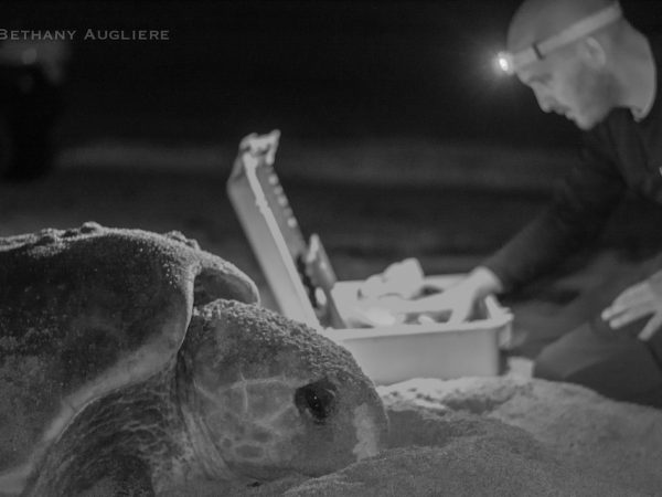 justin perrault sea turtle ultrasound
