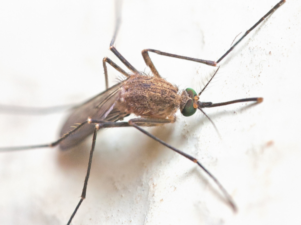 The Science of Mosquitoes (1)