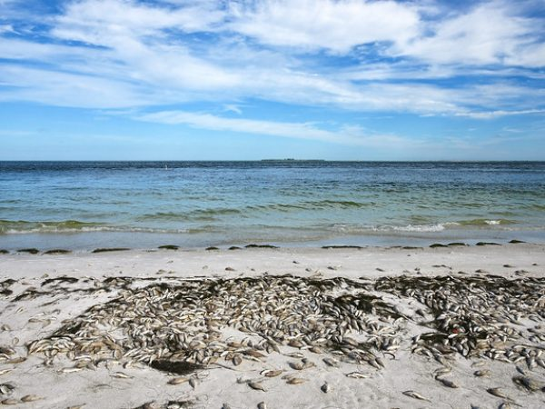 red tide fish kill tampa bay
