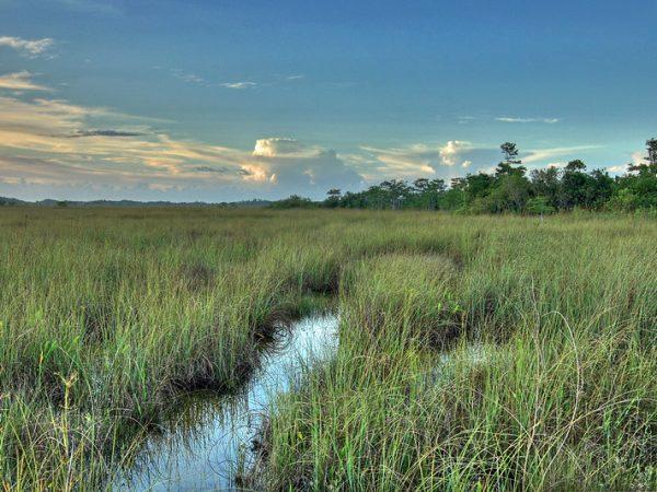 Everglades sawgrass prairie