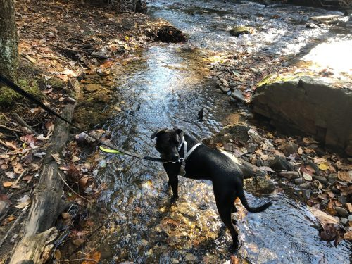 Dog on Trail
