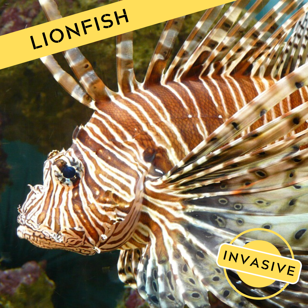 A picture of a lionfish