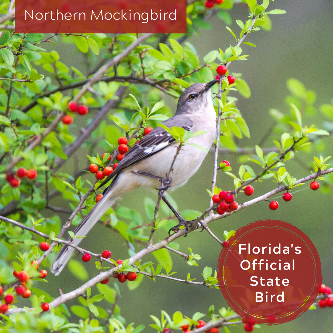 A photo of the Northern Mockingbird, Florida's official state bird.