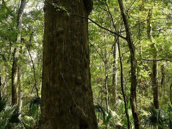 cypress tree in Chassahowitzka Wildlife Management Area