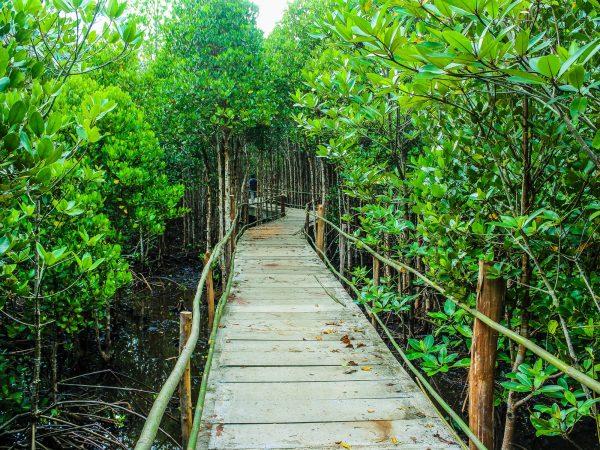 Boardwalk in the Mangroves