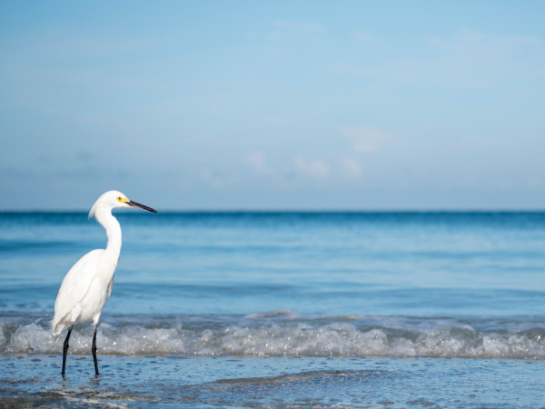 egret on beach